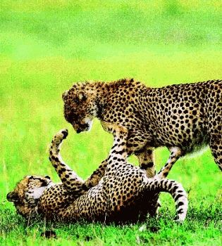 Гепард,леопард