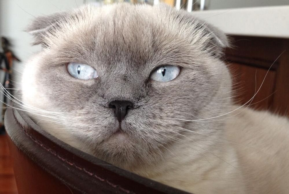 кот Святослава Вакарчука
