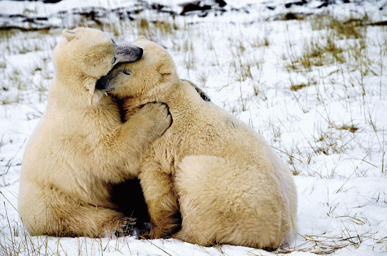 Поцелуя прикол, животные с открыток про любовь