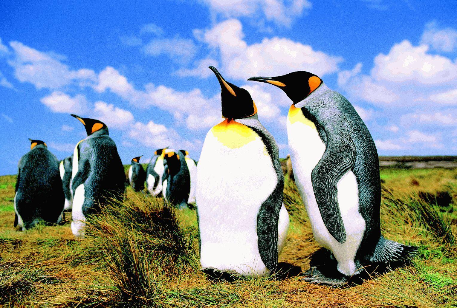 Пингвины - торпеды в перьях